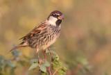Spanish Sparrow        דרור ספרדי