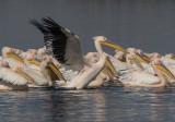 Pelicans  19/04/2016