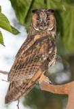 Long-eared Owl    ינשוף עצים
