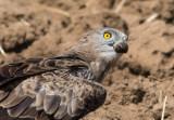 Short Toed Eagle 6-7/2016    חוויאי