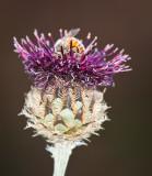 Bee in Teasle
