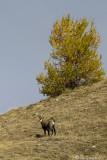 Camoscio (Rupicapra rupicapra)