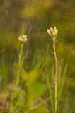 Antennaria
