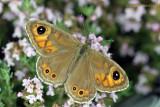 July 6th - Wall Brown butterfly - Lasiommata megera