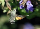 Hummingbird Hawk Moth - Macroglossum stellatarum
