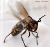 July 9th - Hornet - Vespa crabro
