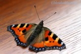 July 12th - tortoiseshell butterfly - Aglais polychloros