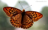 July 18th - Silver Washed Fritillary - Argynnis paphia