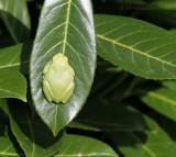 A garden visitor - Hyla arborea