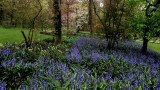 Bluebells blooming at Jardins de Valloires