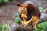 Red Tree Kangaroo