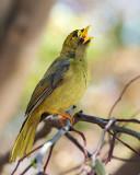 Bellbird or Bell Miner Bird