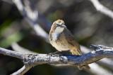 Tawney-crowned Honeyeater