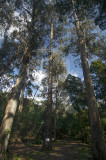 Eucalyptus globulus Labillardière (Árvores de Interesse Público)