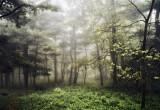 Foggier Woods