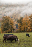Vermont Cows Enjoying Fall