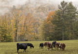 Vermont Cows Enjoyong Fall 4