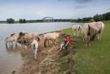Fjordenpaarden bij de Lek