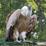 Gyps himalayensis - Vautour de l'Himalaya - Himalayan Griffon Vulture