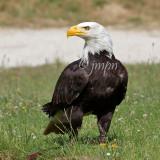 Haliaeetus leucocephalus - Pygargue à tête blanche - Bald Eagle