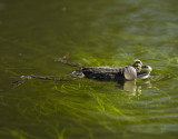 Rana esculenta - Grenouille verte - Green Frog