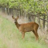 Capreolus capreolus (chevreuil, roe deer)