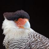 Caracara plancus - Caracara huppé - Southern Crested Caracara