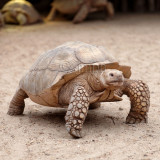 Centrochelys sulcata - Tortue sillonnée - African Spurred Tortoise