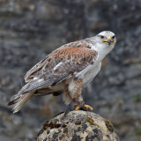 Buteo regalis- Buse rouilleuse - Ferruginous Hawk