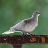 Streptopelia decaocto - Tourterelle turque - Eurasian Collared Dove