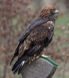 Aquila chrysaetos - Aigle royal - Golden Eagle