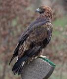 Aquila chrysaetos - Aigle royal - Golden Eagle