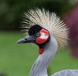 Grue royale - Grey Crowned Crane - Balearica regulorum
