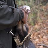 Ferret (rabbit hunting)