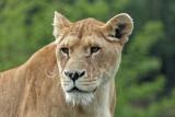 Panthera leo (lionne - lioness)