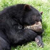 Ursus americanus, ours noir, baribal, black bear
