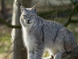 Lynx lynx wrangeli (Lynx de Sibérie)