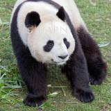 Giant panda, Panda géant