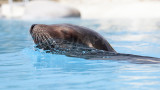 Otarie de Californie, Californian Sea Lion (Zalophus californianus)