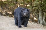 Ours noir (Baribal )- Black Bear - Ursus americanus