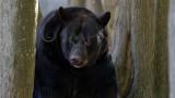 Ours noir (Baribal) - Black Bear - Ursus americanus