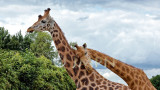 Girafe (Giraffa camelopardalis)