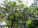 A MOST UNUSUAL TREE