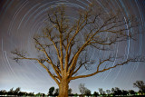 The_Olmsted_Oak_star_trails_20x30.jpg