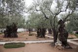 Garden of Gethsemane IMG_0198.JPG