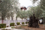 Garden of Gethsemane IMG_0200.JPG