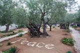 Garden of Gethsemane IMG_0240.JPG