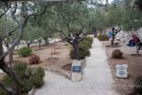 Garden of Gethsemane IMG_0243.JPG