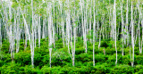 Rubber trees - IMG_3079.JPG