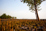 Merambong Island Mangrove IMG_4265.JPG